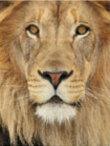 Talking Leo the Lion