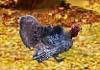 Farting Turkey